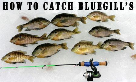 Read the artilce and start catching bluegills like never before!